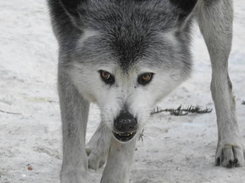 Alpha Wolf Park at Saint-Martin Vésubie: a bridge between man, ecology and wolves