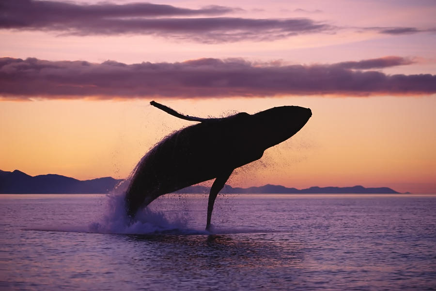 Humpback Whale Breaching @ Sunset Composite Se Ak