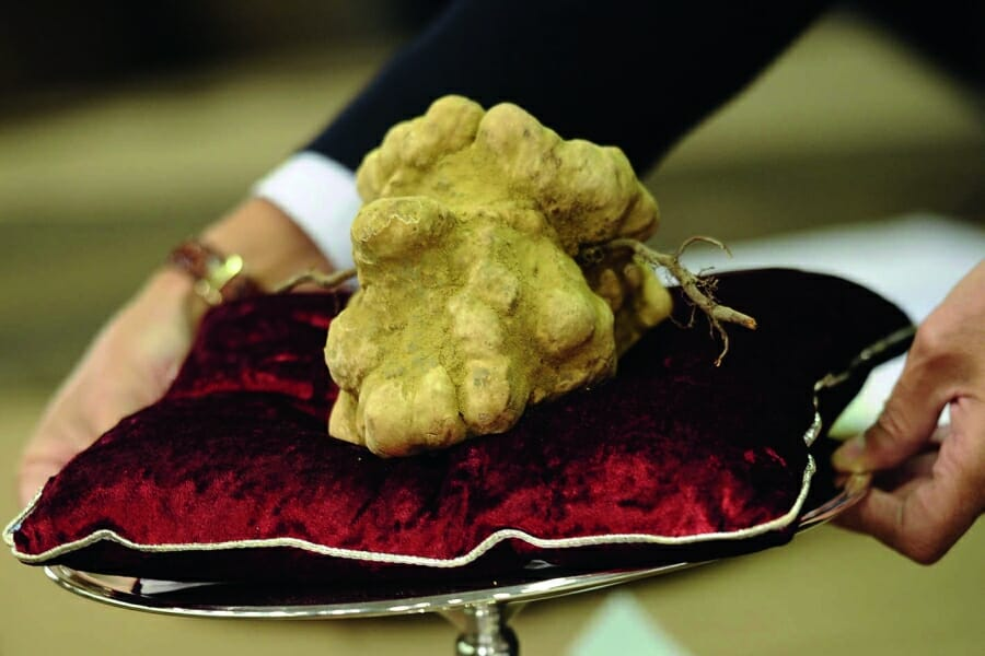 Photo of The rare white truffle of Piedmont, Italy: the hunt is on!