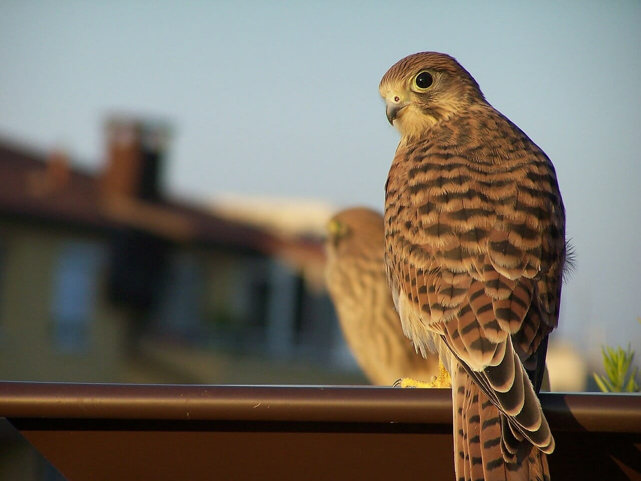 Bird Wild Kestrel