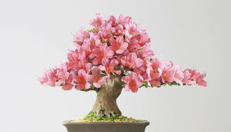 Bonsai Club of Monaco put the beautiful bonsai in the spotlight