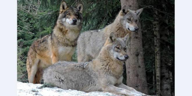 Alpha Wolf Park at Saint-Martin Vésubie: a bridge between man, ecology and wolves